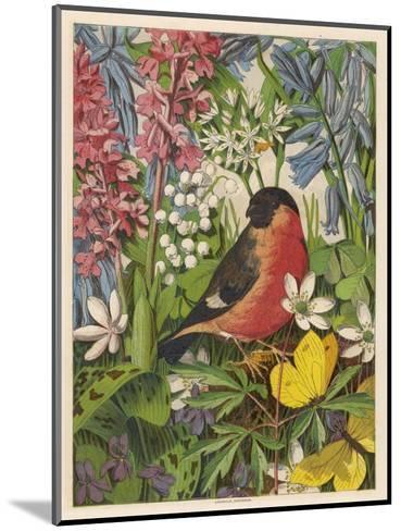 Bullfinch--Mounted Giclee Print