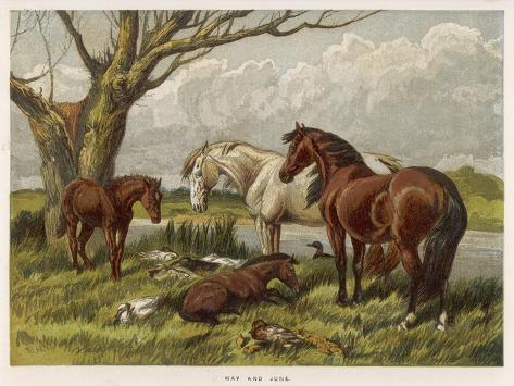 Horses in a Field--Stretched Canvas Print