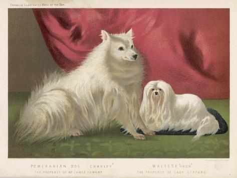 This Pomeranian Looks Quite Large Beside a Maltese Terrier--Stretched Canvas Print