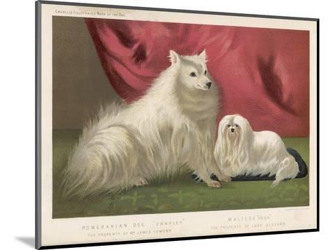This Pomeranian Looks Quite Large Beside a Maltese Terrier--Mounted Giclee Print