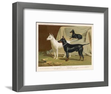 Toy Terrier, White Terrier, Black and Tan Terrier--Framed Art Print