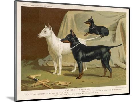 Toy Terrier, White Terrier, Black and Tan Terrier--Mounted Giclee Print