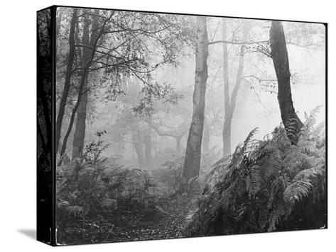 An Eerie Misty Wood with Ferns Near Esher Common Surrey England--Stretched Canvas Print