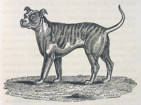 An Early Engraving of a Bulldog--Stretched Canvas Print