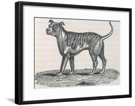 An Early Engraving of a Bulldog--Framed Art Print