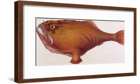 Chaunax Pictus Red Angler Fish--Framed Art Print