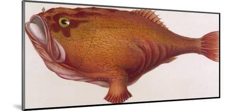 Chaunax Pictus Red Angler Fish--Mounted Giclee Print