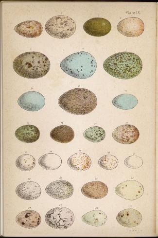Eggs of Two Dozen Birds--Stretched Canvas Print