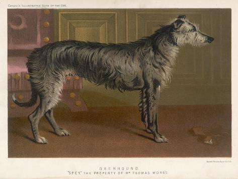 Dark Grey Deerhound Stares Thoughtfully into the Distance--Stretched Canvas Print