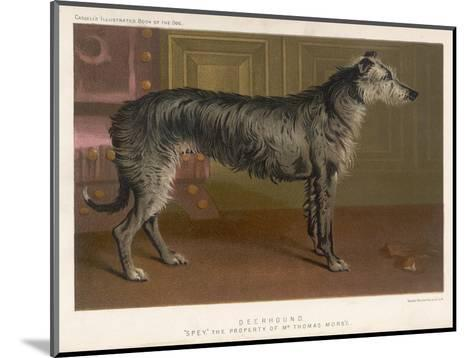Dark Grey Deerhound Stares Thoughtfully into the Distance--Mounted Giclee Print