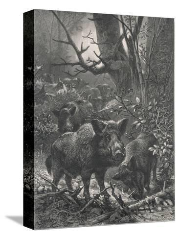 Herd of Wild Boar Wander Through the Woods-Specht-Stretched Canvas Print