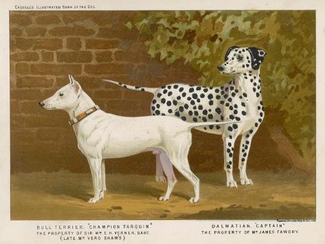 Dalmatian and a Bull Terrier Stand Side by Side Gazing at Something in the Distance--Stretched Canvas Print