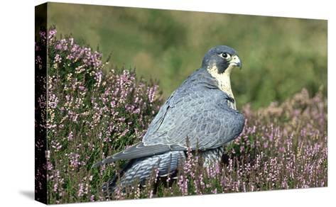 Peregrine Falcon on Heather in Flower, UK-Mark Hamblin-Stretched Canvas Print