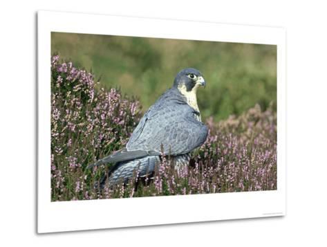 Peregrine Falcon on Heather in Flower, UK-Mark Hamblin-Metal Print