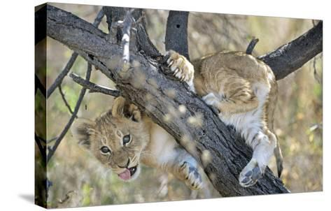 African Lion, Young Cub Climbing Tree, Southern Africa-Mark Hamblin-Stretched Canvas Print
