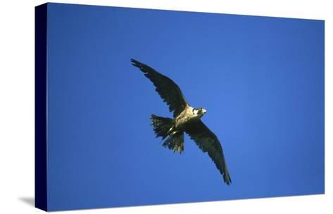 Peregrine Falcon, Falco Peregrinus Immature Female in Flight Scotland, UK-Mark Hamblin-Stretched Canvas Print