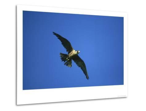 Peregrine Falcon, Falco Peregrinus Immature Female in Flight Scotland, UK-Mark Hamblin-Metal Print