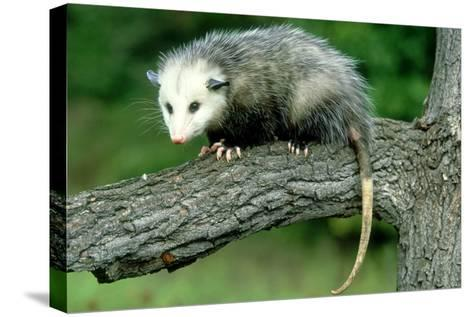 Opossum on Branch, USA-Mark Hamblin-Stretched Canvas Print