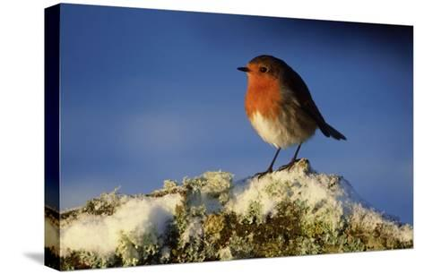 Robin, Perched on Branch in Snow, Scotland, UK-Mark Hamblin-Stretched Canvas Print