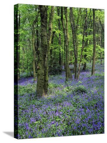 Bluebells in Deciduous Woodland, UK-Mark Hamblin-Stretched Canvas Print