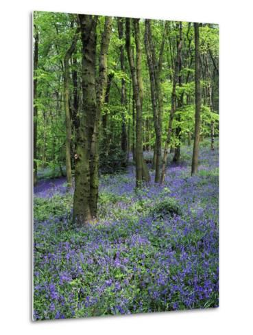 Bluebells in Deciduous Woodland, UK-Mark Hamblin-Metal Print