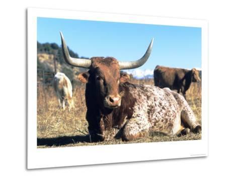 Texas Longhorn, Resting, Colorado, USA-Philippe Henry-Metal Print