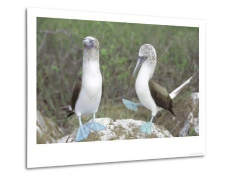 Blue Footed Booby, Elaborate Courtship Dance, Galapagos-Mark Jones-Metal Print
