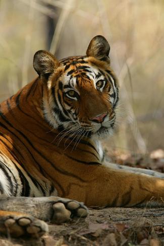 Bengal Tiger, Female Resting, Madhya Pradesh, India-Elliot Neep-Stretched Canvas Print