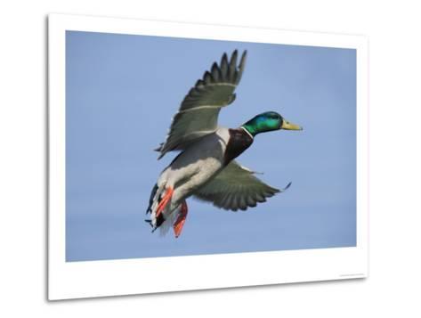 Mallard in Flight, Lake Geneva, Switzerland-Elliot Neep-Metal Print
