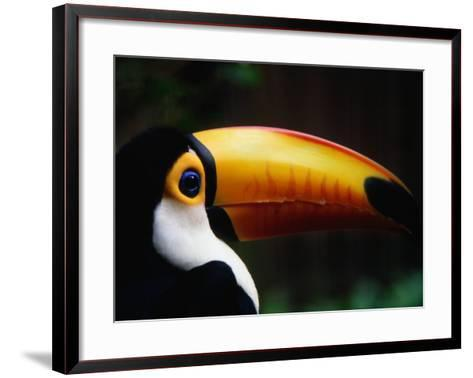 Portrait of a Toco Toucan (Ramphastos Toco), Brazil-Mark Newman-Framed Art Print
