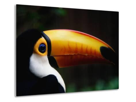 Portrait of a Toco Toucan (Ramphastos Toco), Brazil-Mark Newman-Metal Print