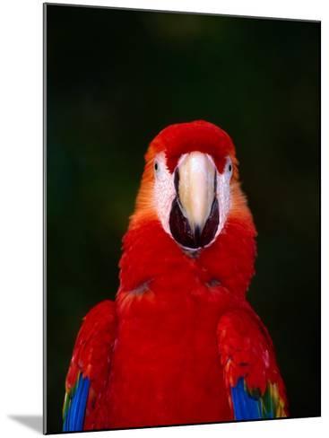 Scarlett Macaw (Ara Macao) on Zoo Avenue, Puntarenas, Costa Rica-Ralph Lee Hopkins-Mounted Photographic Print