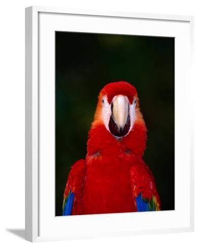 Scarlett Macaw (Ara Macao) on Zoo Avenue, Puntarenas, Costa Rica-Ralph Lee Hopkins-Framed Art Print