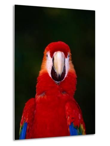 Scarlett Macaw (Ara Macao) on Zoo Avenue, Puntarenas, Costa Rica-Ralph Lee Hopkins-Metal Print