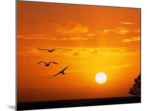 Frigate Birds Soaring at Sunrise, Cayos Cochinos, Islas De La Bahia, Honduras-Ralph Lee Hopkins-Mounted Photographic Print