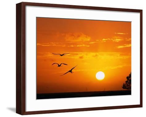 Frigate Birds Soaring at Sunrise, Cayos Cochinos, Islas De La Bahia, Honduras-Ralph Lee Hopkins-Framed Art Print