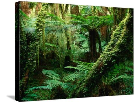 Trees and Ferns in Beech Forest, Oparara, New Zealand-Oliver Strewe-Stretched Canvas Print