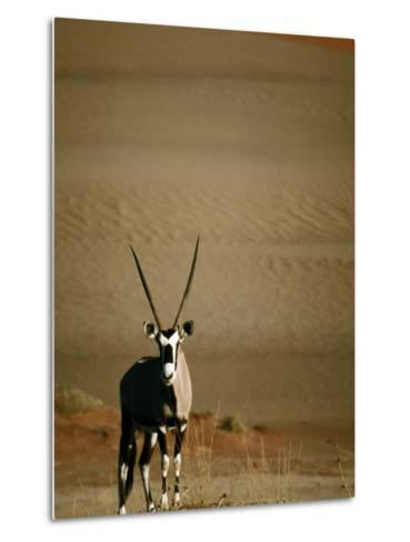 Gemsbok, or South African Oryx ( Oryx Gazella ), in Sand Dunes, Namib Desert Park, Namibia-David Wall-Metal Print
