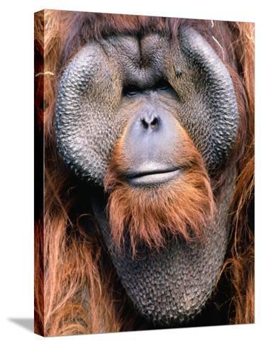 Orangutan (Pongo Pygmaeus), Indonesia-Mark Newman-Stretched Canvas Print