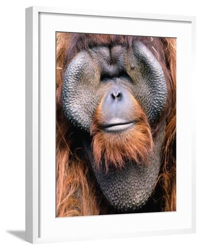 Orangutan (Pongo Pygmaeus), Indonesia-Mark Newman-Framed Art Print