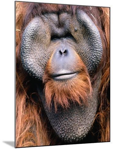 Orangutan (Pongo Pygmaeus), Indonesia-Mark Newman-Mounted Photographic Print