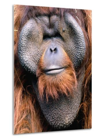 Orangutan (Pongo Pygmaeus), Indonesia-Mark Newman-Metal Print