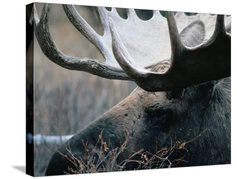 Bull Moose, Denali National Park & Preserve, Alaska, USA-Mark Newman-Stretched Canvas Print