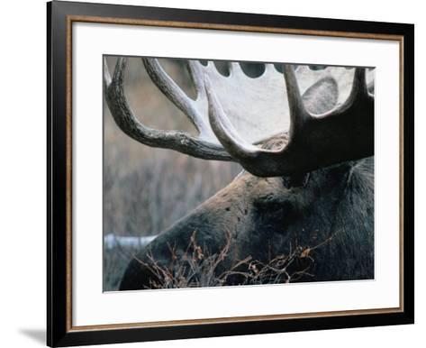 Bull Moose, Denali National Park & Preserve, Alaska, USA-Mark Newman-Framed Art Print