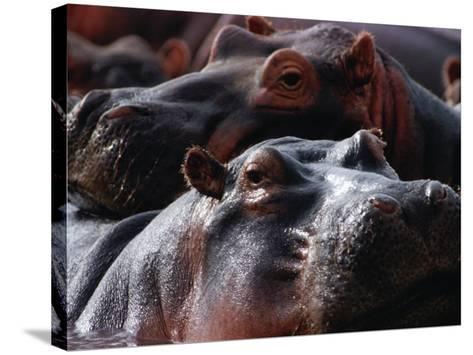 Close Up of Hippo Herd (Hippopotamus Amphibius), Lake Manyara National Park, Arusha, Tanzania-Lawrence Worcester-Stretched Canvas Print