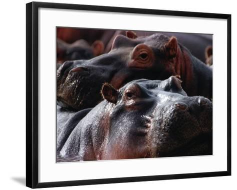 Close Up of Hippo Herd (Hippopotamus Amphibius), Lake Manyara National Park, Arusha, Tanzania-Lawrence Worcester-Framed Art Print