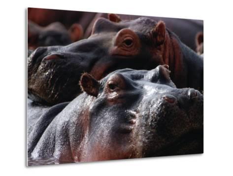 Close Up of Hippo Herd (Hippopotamus Amphibius), Lake Manyara National Park, Arusha, Tanzania-Lawrence Worcester-Metal Print