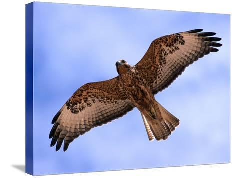 Immature Galapagos Hawk in Flight, Galapagos, Ecuador-Ralph Lee Hopkins-Stretched Canvas Print