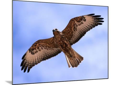 Immature Galapagos Hawk in Flight, Galapagos, Ecuador-Ralph Lee Hopkins-Mounted Photographic Print