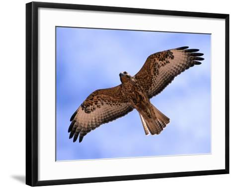 Immature Galapagos Hawk in Flight, Galapagos, Ecuador-Ralph Lee Hopkins-Framed Art Print